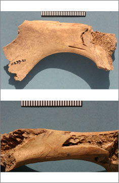 [11239].21: fragment of cattle pelvis with damage from a heavy instrument on one side (top image) and knife cuts from jointing on the other (bottom image)